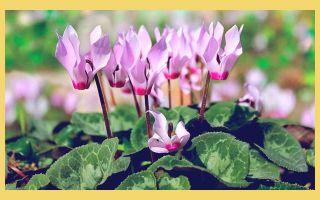Как цикламен помогает в лечении гайморита