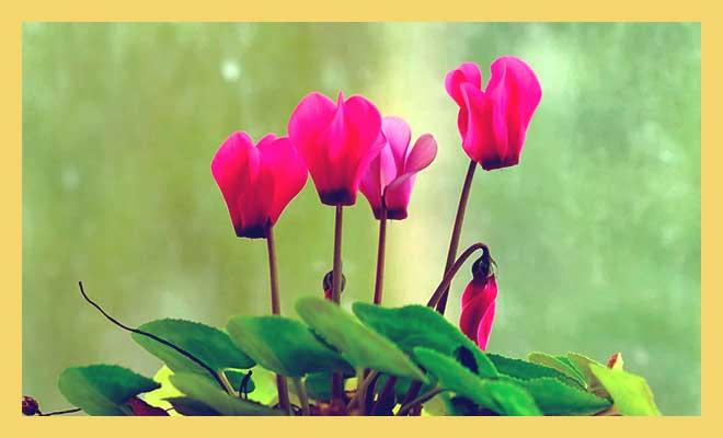 Цветки цикламена